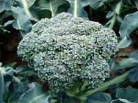 Ovoce a zelenina od A do Z - Brokolice