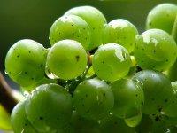 Hroznové víno: Nejen chutná, ale i léčí (Ordinace.cz)