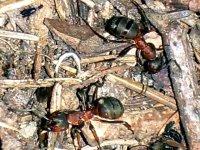 Jihoameričtí mravenečníci jsou sice bezzubí, ale ne zcela bezbranní